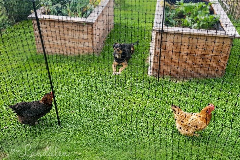 Unser Hund und unsere Hühner