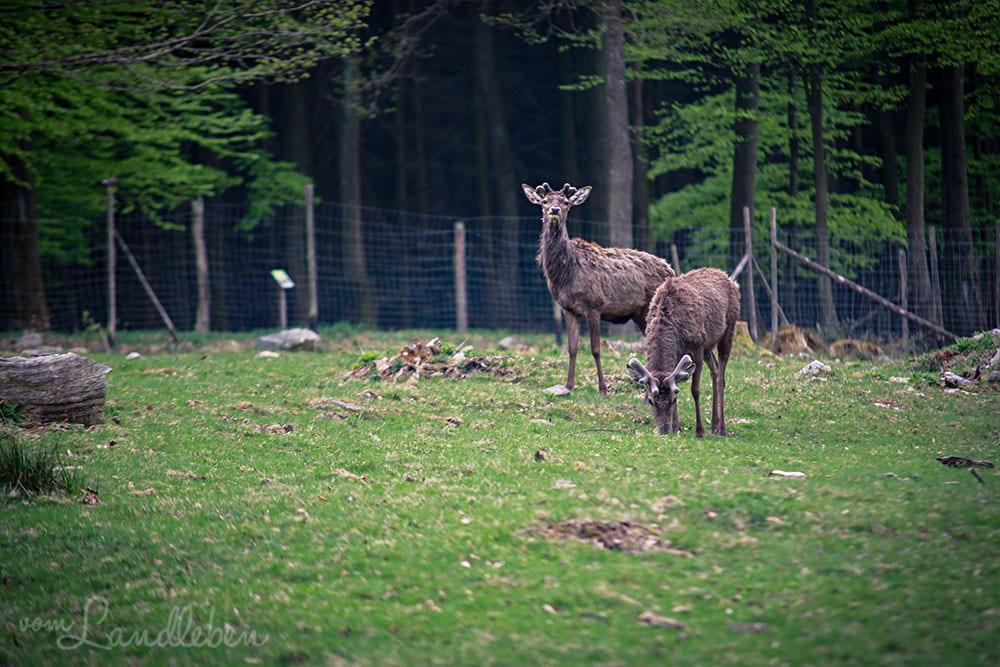 Rotwild im Wildfreigehege Wildenburg