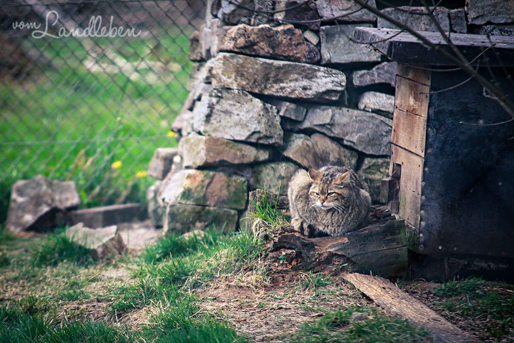 Wildkatze im Wildfreigehege Wildenburg