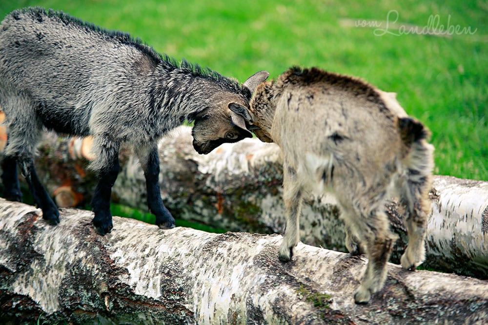 Ziegen im Wildfreigehege Wildenburg