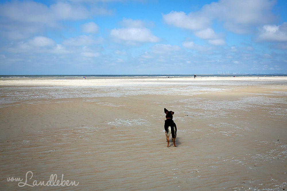 Hund am Strand in Ouddorp