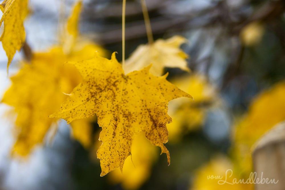 Herbstlaub - Kugelahorn