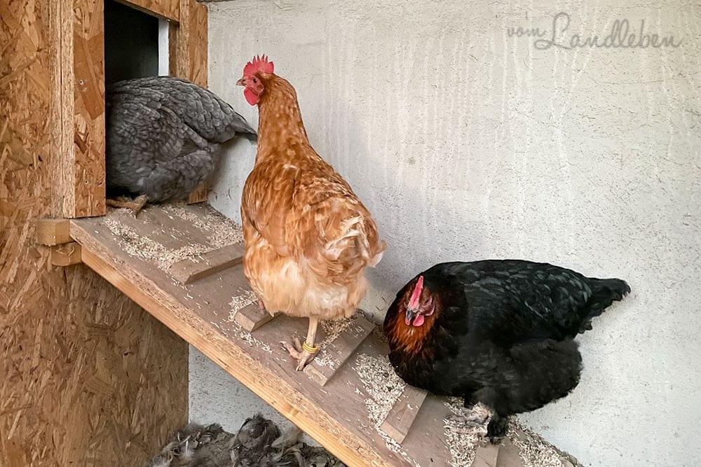 12von12 im Februar 2021 - Hühner