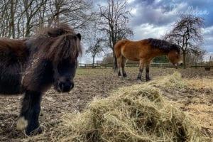 Ponys auf dem Paddock