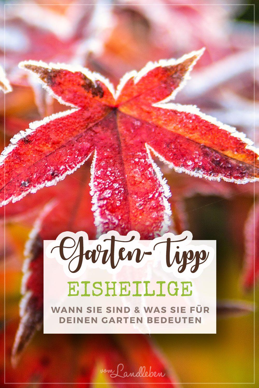 Gartentipp: Eisheilige - wann sie sind und was du beachten musst