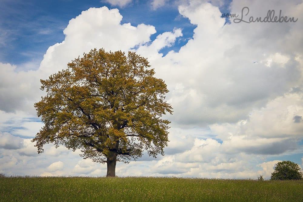 Baum bei Seelscheid
