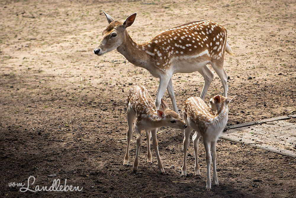 Damwild im Tierpark Tannenbusch in Dormagen