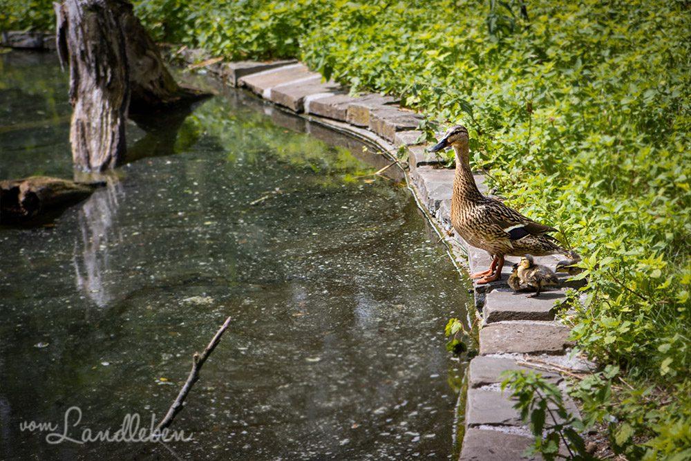 Ente mit Küken im Tierpark Tannenbusch in Dormagen