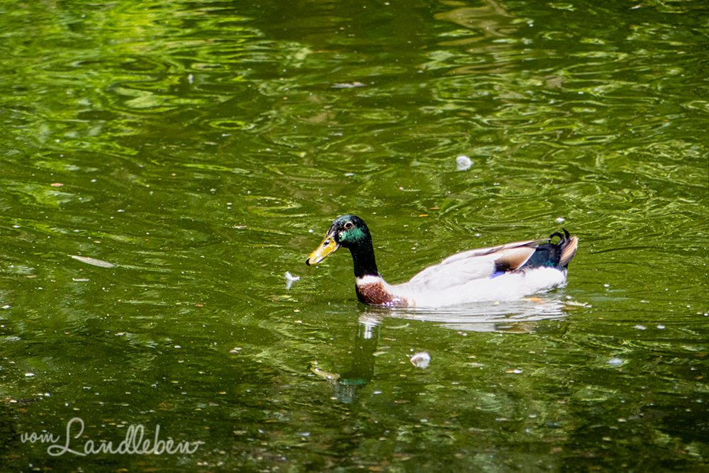 Ente im Tierpark Tannenbusch in Dormagen