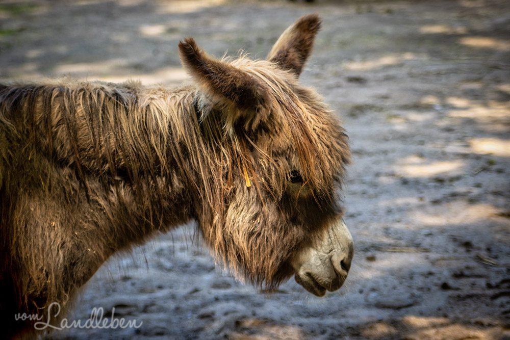 Esel im Tierpark Tannenbusch in Dormagen