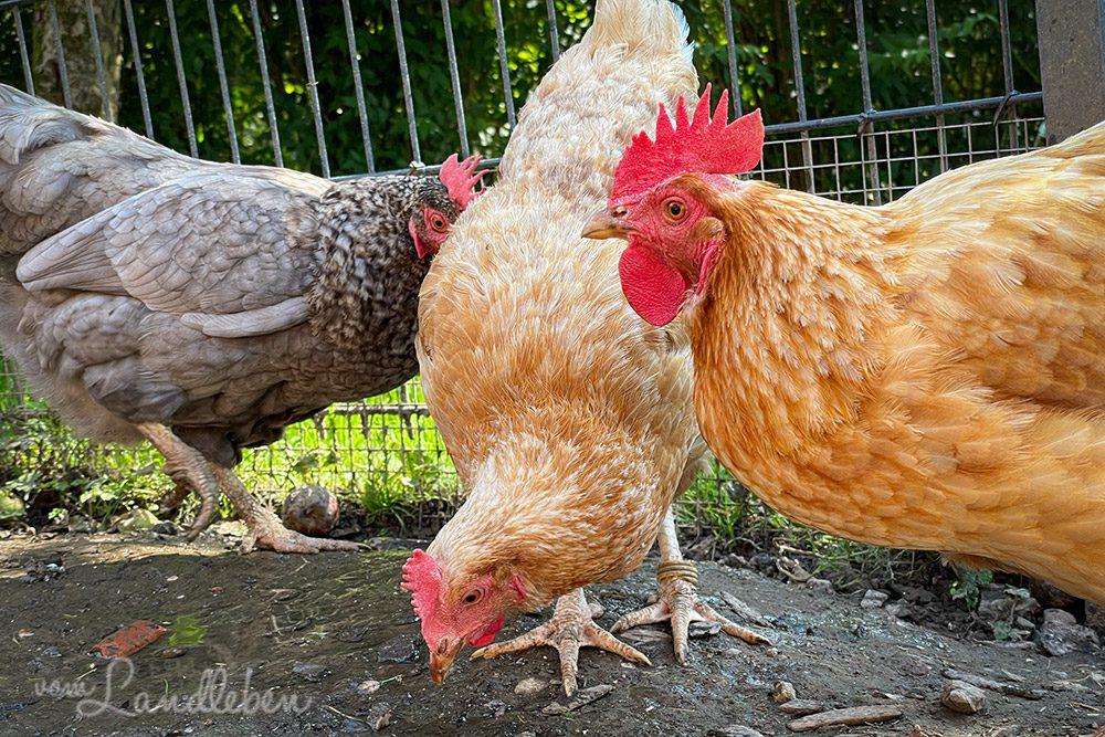 Hühner im August 2021