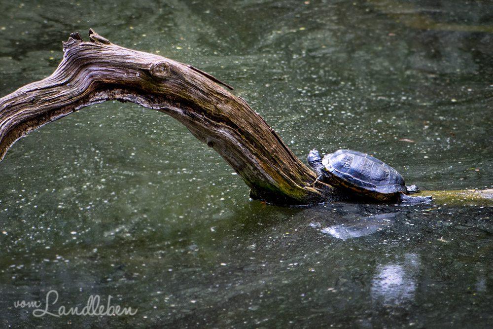 Schildkröte im Tierpark Tannenbusch in Dormagen