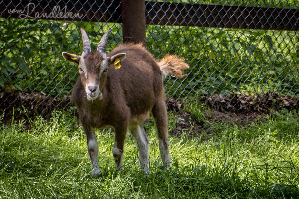Ziege im Tierpark Tannenbusch in Dormagen